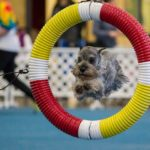 Schnauzer jumping through the tire obstacle