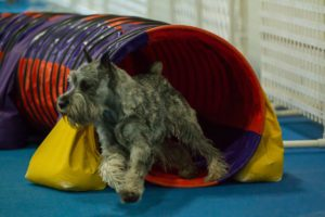 Sully, a schnauzer, exiting a tunnel obstacle