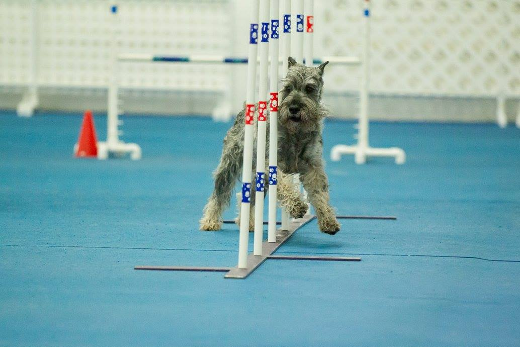 Sully, a schnauzer, running through the weave poles