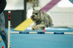 Sully the Schnauzer jumping over an obstacle