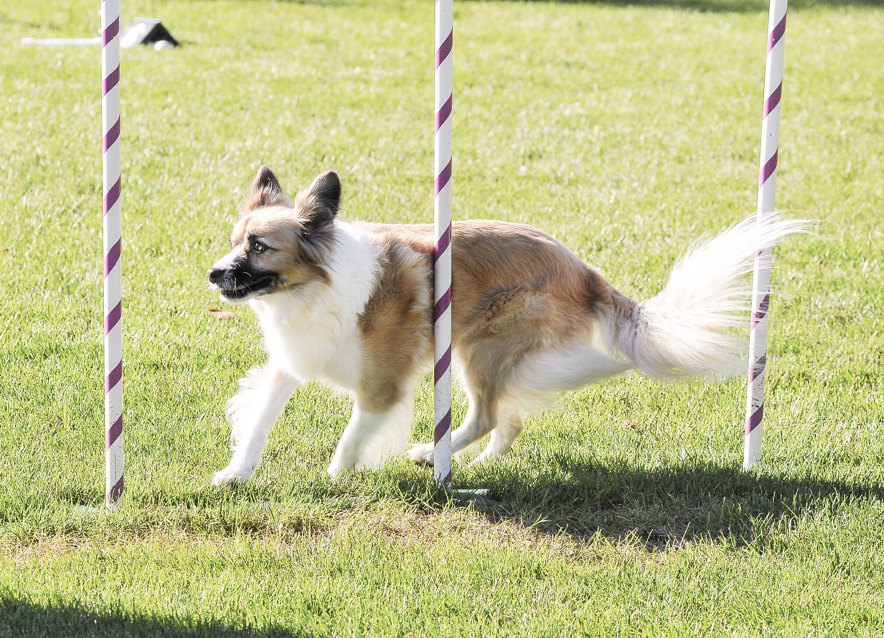 dog running the weave poles