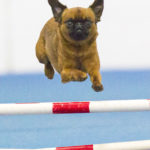 small dog jumping over an obstacle