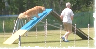 Hawkeye, a golden retreiver going over the A-Frame obstacle