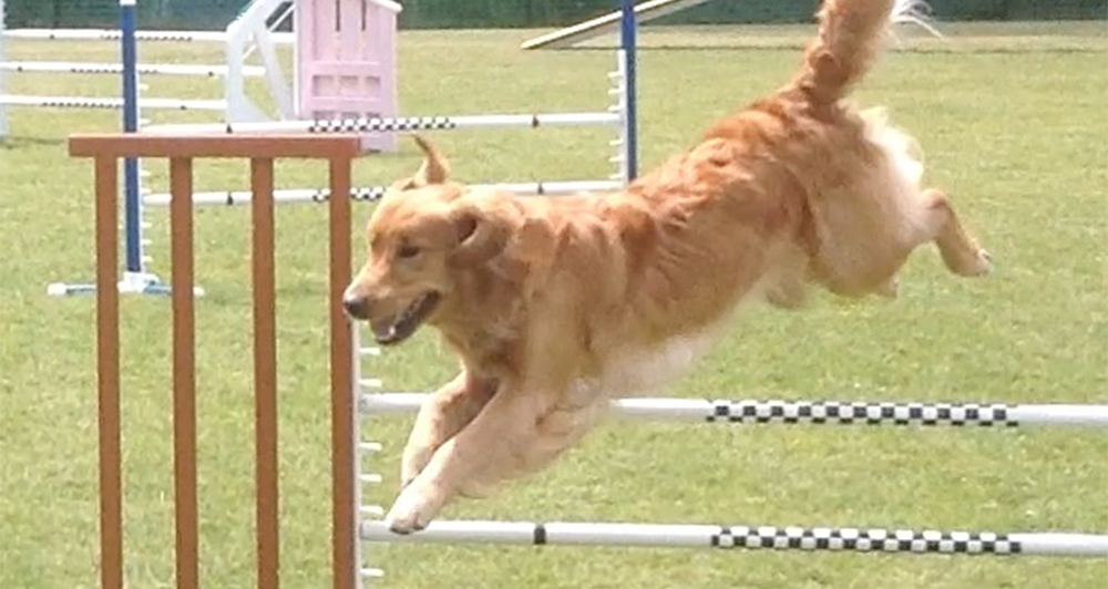 Teaka the Golden Retriever Jumping