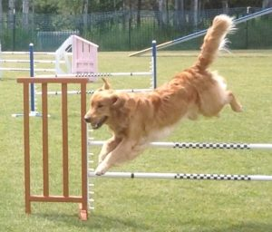 Teaka the golden retriever jumping