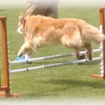 Hawkeye the golden retriever jumping