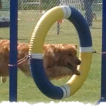 Teak, the golden retriever jumping through a Tire obstacle
