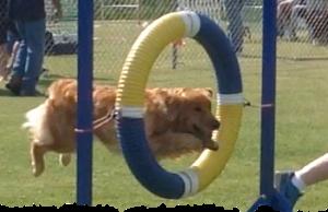 Teak, the golden retriever jumping through a Tire obstacle