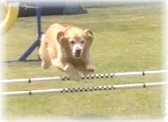 Hawkeye the golden retriever jumping over a hurdle